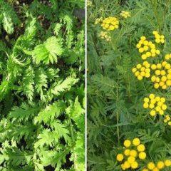 Catinga-de-mulata: planta que limpa os rins e elimina catarro e vermes